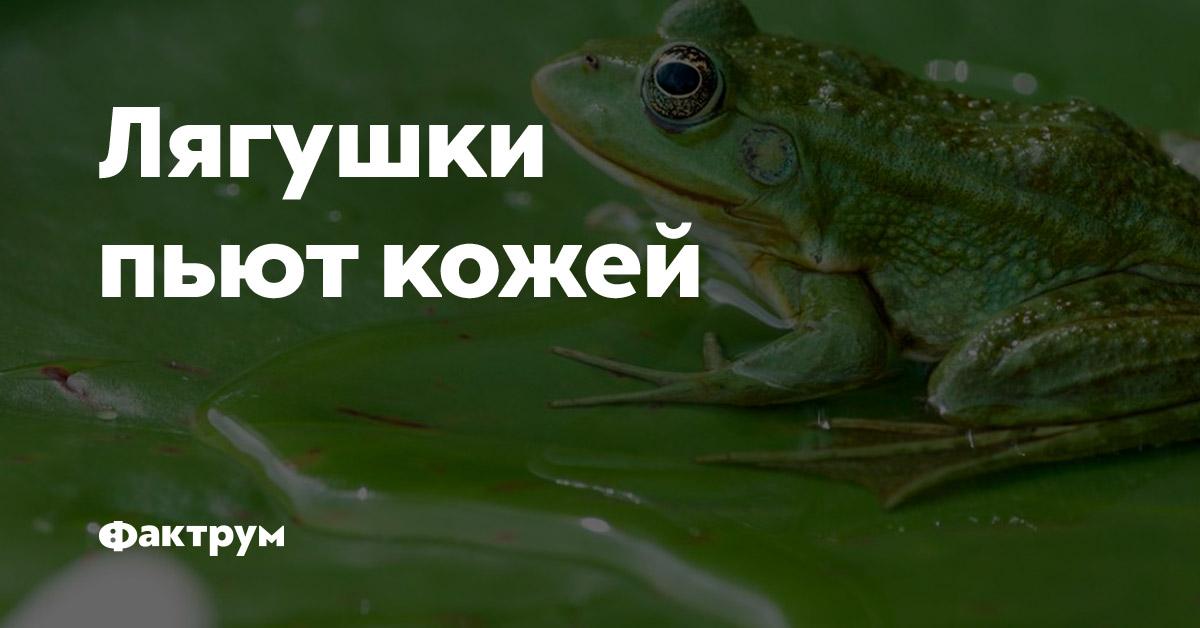 Лягушки пьют кожей