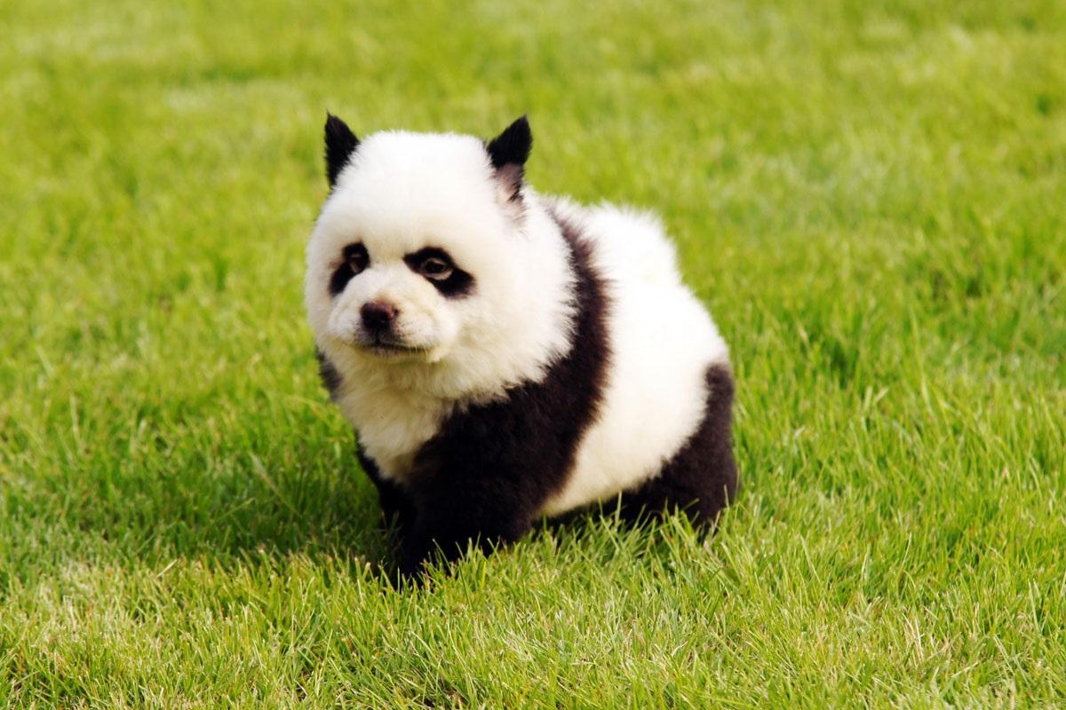 Собака-панда