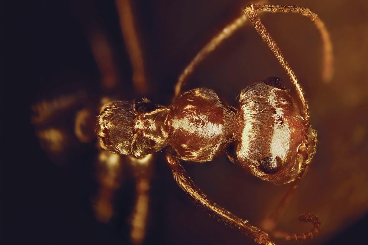 Сахарский муравей