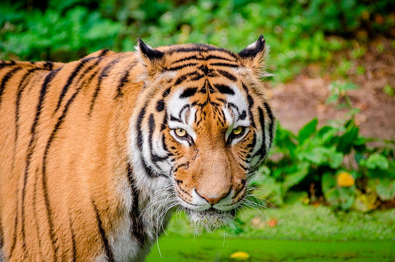 Почему тигр оранжевый, если жертвы всё равно видят его зелёным?