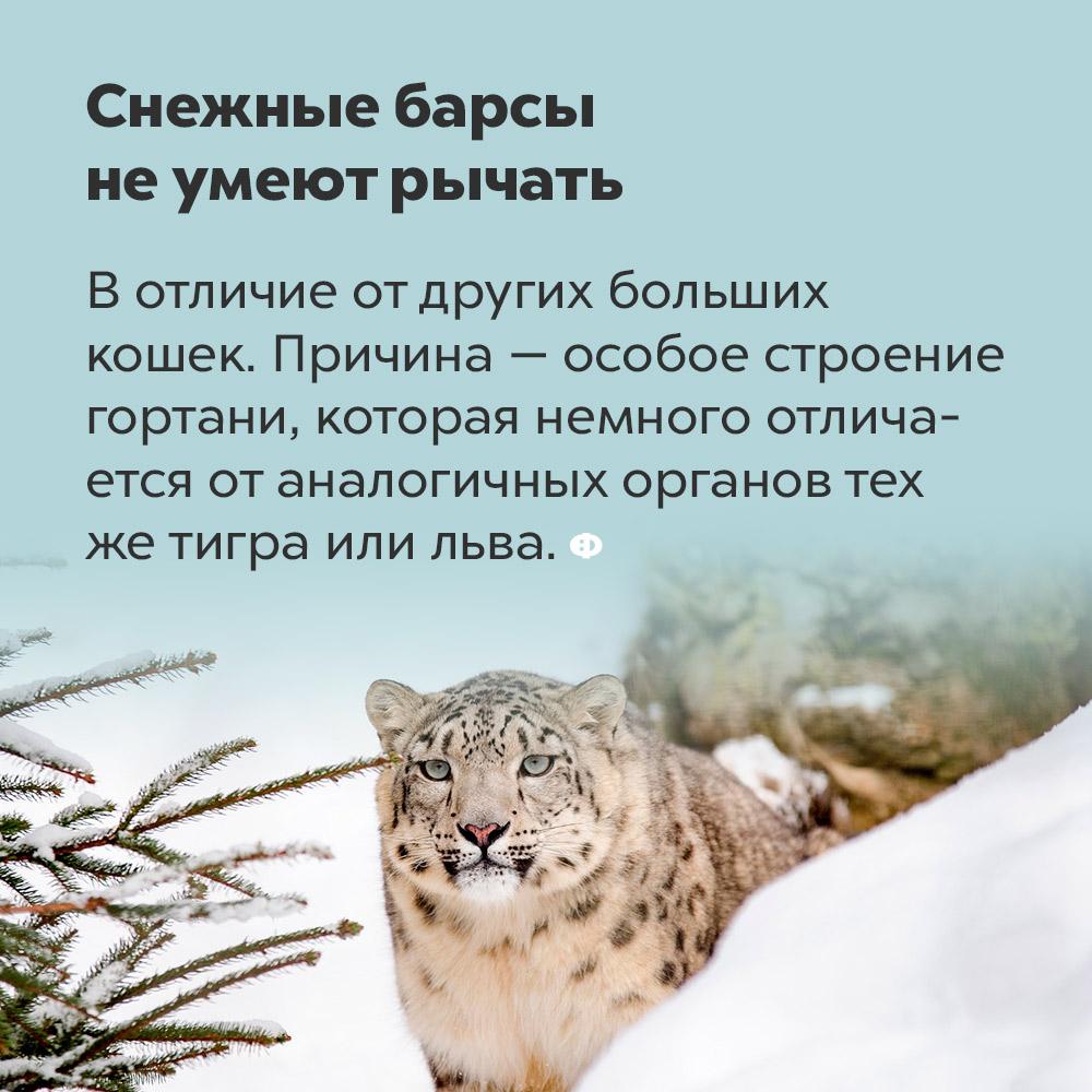 Снежные барсы не умеют рычать. В отличие от других больших кошек, снежные барсы не рычат. Причина — особое строение гортани, которая немного отличается от аналогичных органов тигра или льва.