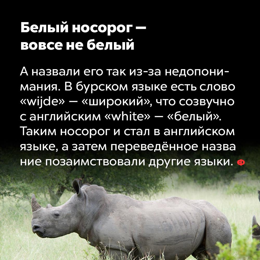 Белый носорог —  вовсе не белый.