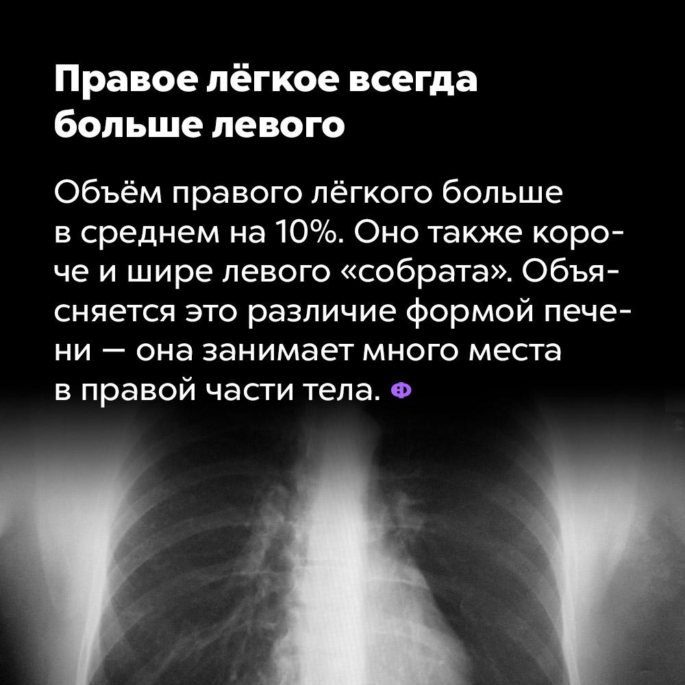 Правое лёгкое всегда больше левого. Объём правого лёгкого больше в среднем на 10%. Оно также короче и шире левого «собрата». Объясняется это различие формой печени — она занимает много места в правой части тела.