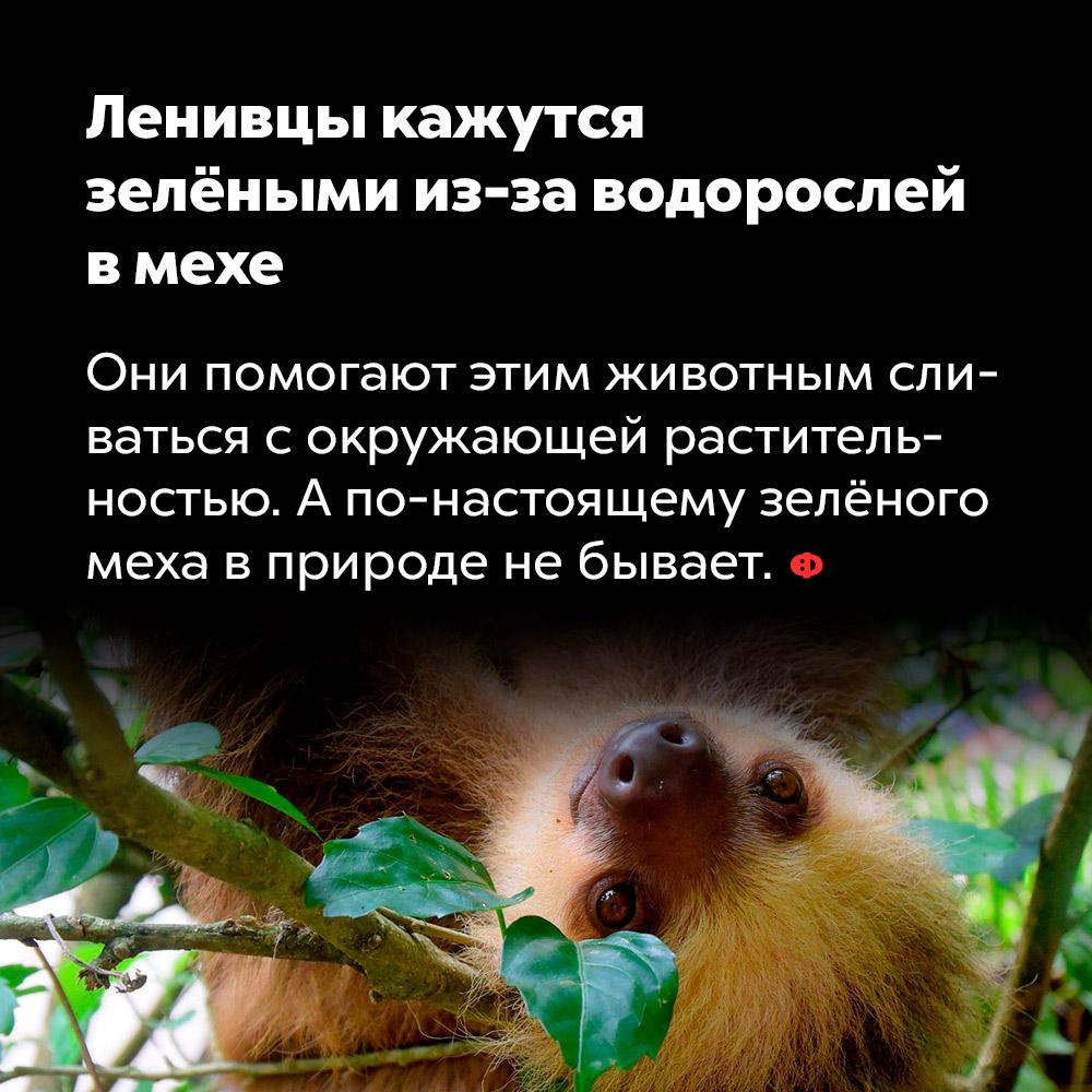 Ленивцы кажутся  зелёными из-за водорослей  в мехе. Водоросли помогают ленивцам сливаться с окружающей растительностью. А по-настоящему зелёного меха в природе не бывает.