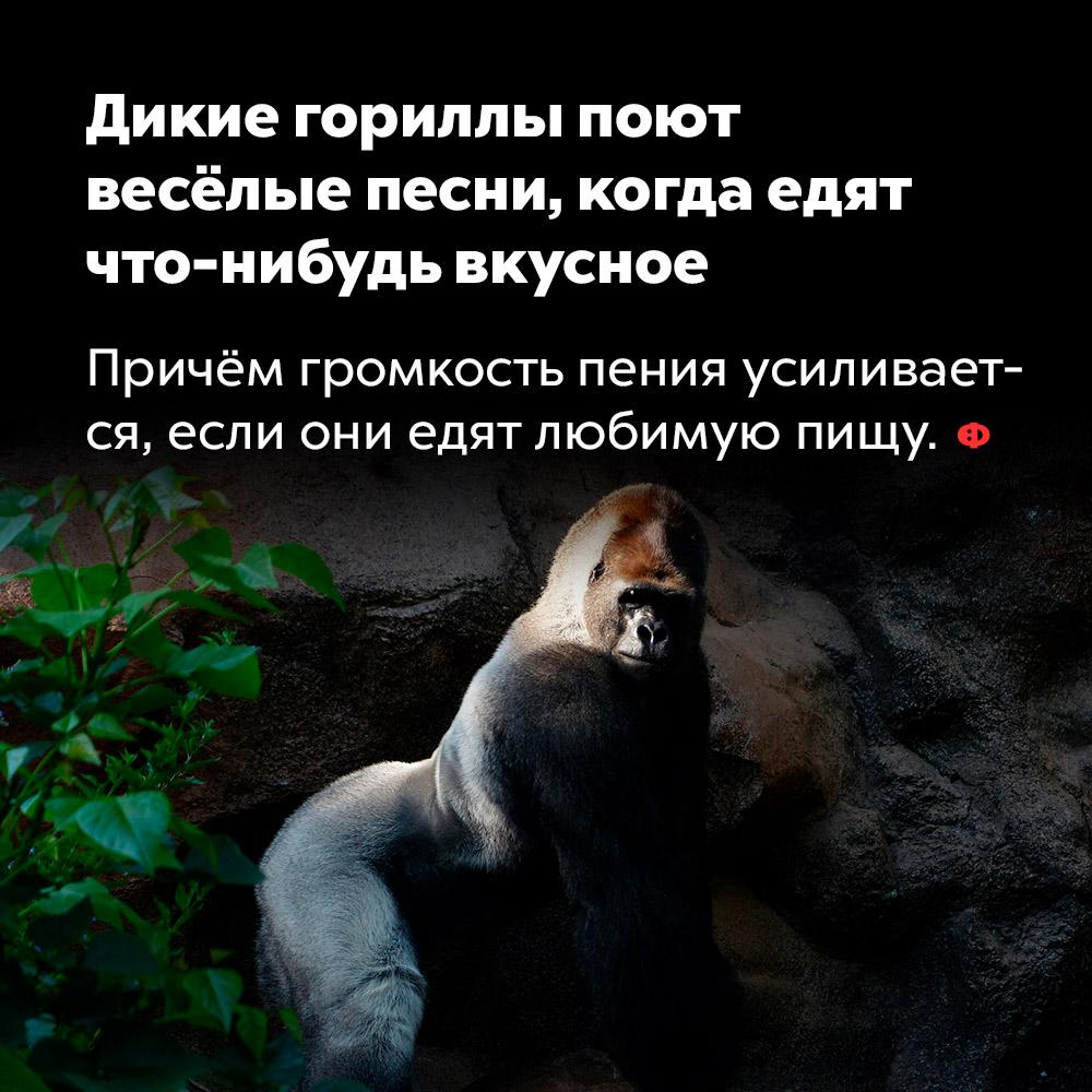 Дикие гориллы поют весёлые песни, когда едят что-нибудь вкусное. Причём громкость пения увеличивается, если они едят любимую пищу.