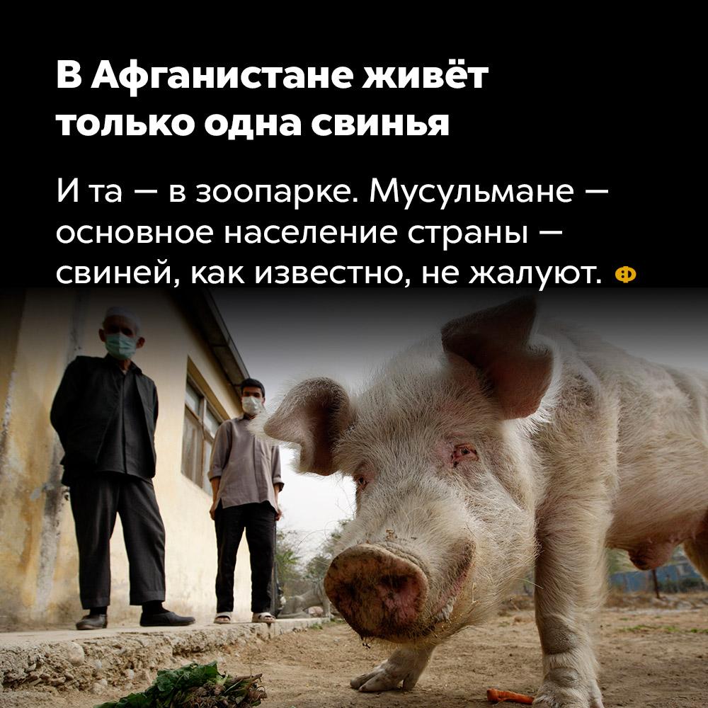 В Афганистане живёт только одна свинья. И та — в зоопарке. Мусульмане — основное население страны — свиней, как известно, не жалуют.