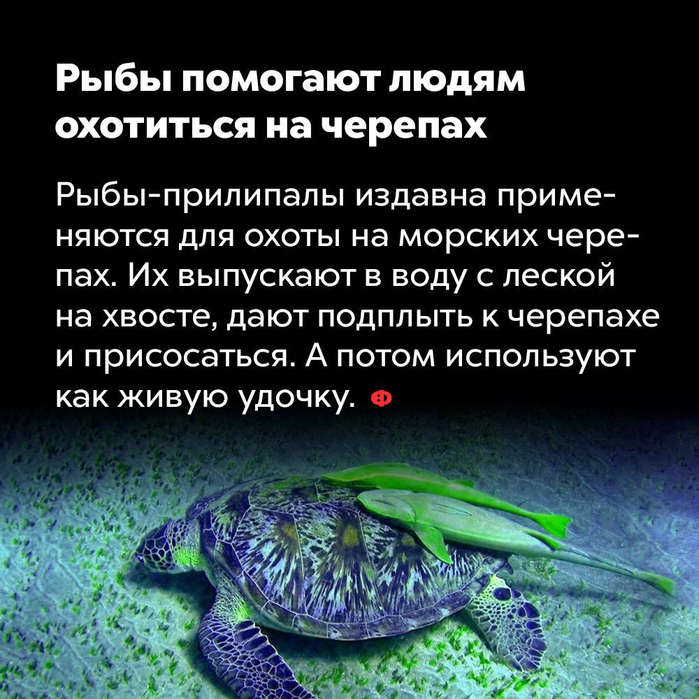 Рыбы помогают людям охотиться начерепах. Рыбы-прилипалы издавна применяются для охоты на морских черепах. Их выпускают в воду с леской на хвосте, дают подплыть к черепахе и присосаться. А потом используют как живую удочку.
