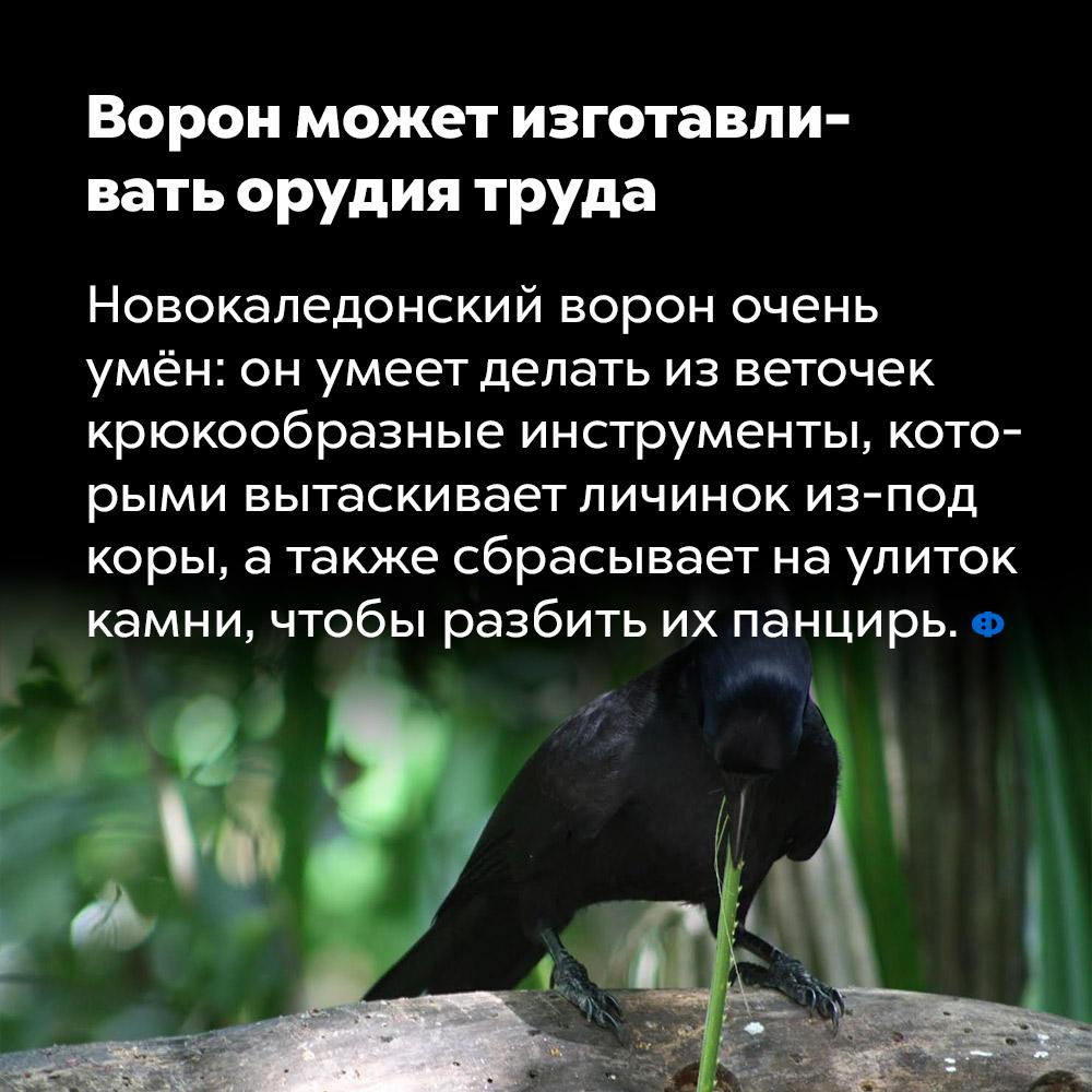 Ворон может изготавливать орудия труда. Новокаледонский ворон очень умён: он умеет делать из веточек крюкообразные инструменты, которыми вытаскивает личинок из-под коры, а также сбрасывает на улиток камни, чтобы разбить их панцирь.