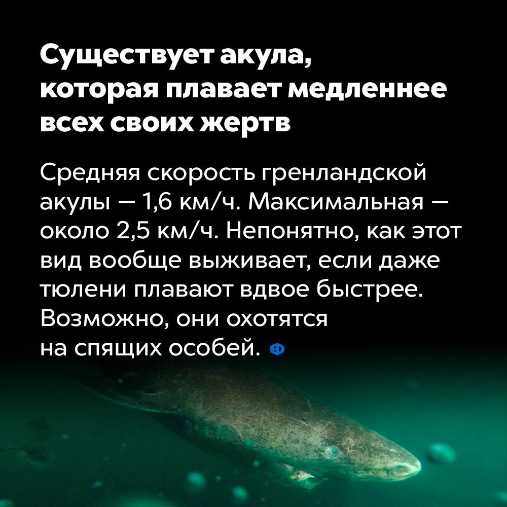 Существует акула, которая плавает медленнее всех своих жертв.