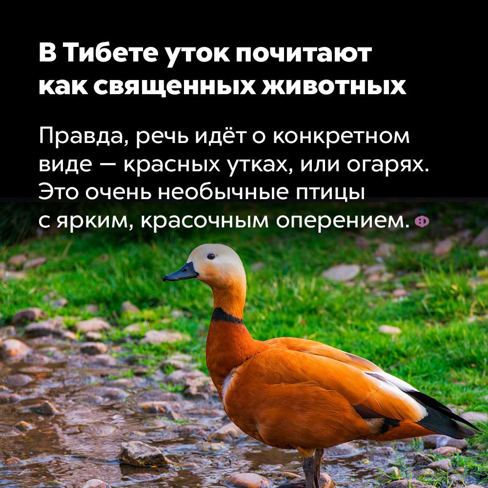 В Тибете уток почитают как священных животных. Правда, речь идёт о конкретном виде — красных утках, или огарях. Это очень необычные птицы с ярким красочным оперением.