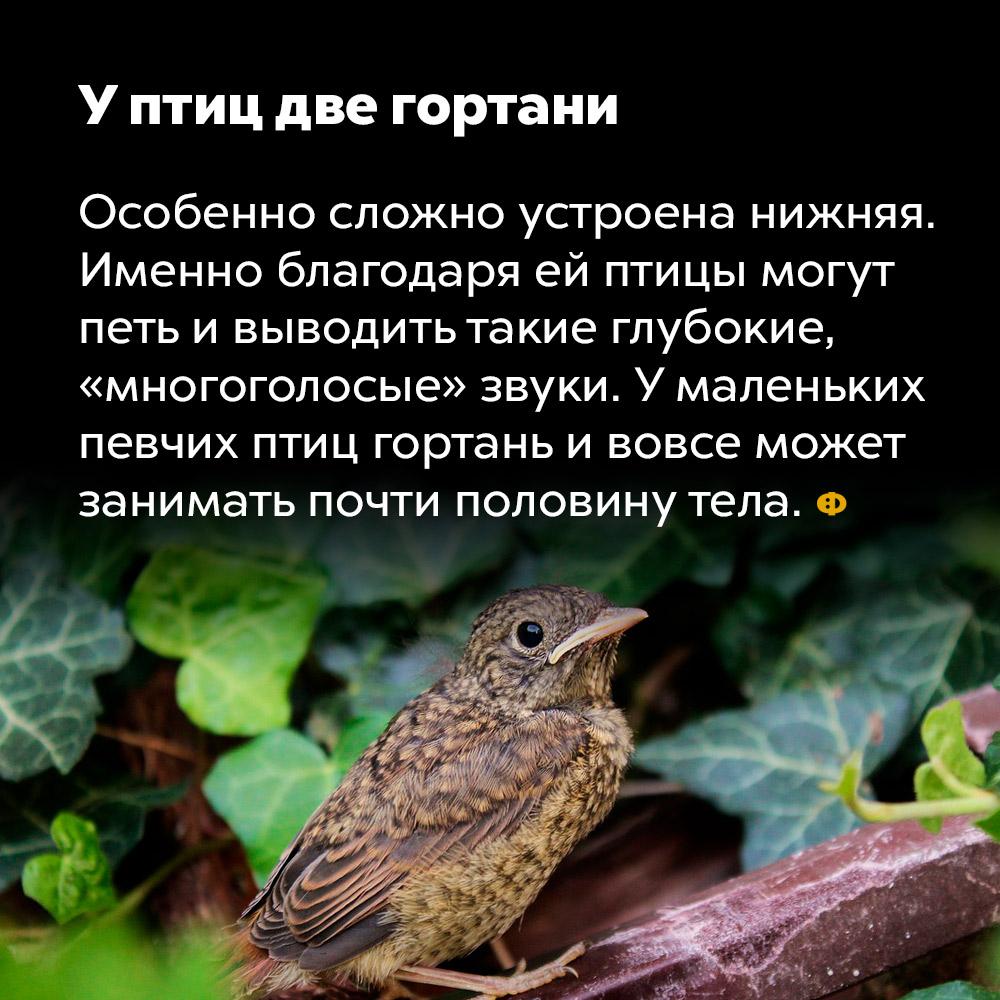 У птиц две гортани. Особенно сложно устроена нижняя. Именно благодаря ей птицы могут петь и выводить такие глубоки «многоголосые» звуки. У маленьких певчих птиц гортань и вовсе может занимать почти половину тела.