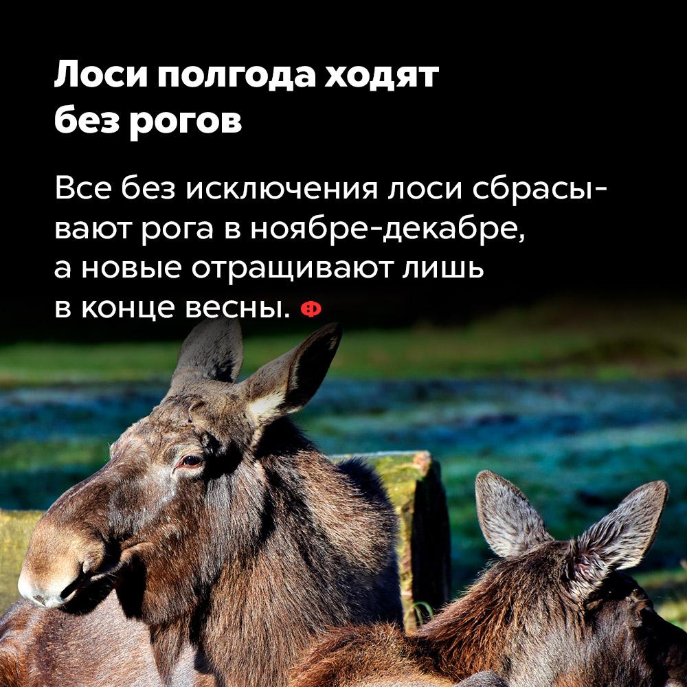 Лоси полгода ходят без рогов. Все без исключения лоси сбрасывают рога в ноябре-декабре, а новые отращивают лишь в конце весны.