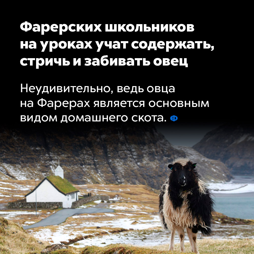Фарерских школьников на уроках учат содержать, стричь и забивать овец. Неудивительно, ведь овца на Фарерских островах является основным видом домашнего скота.