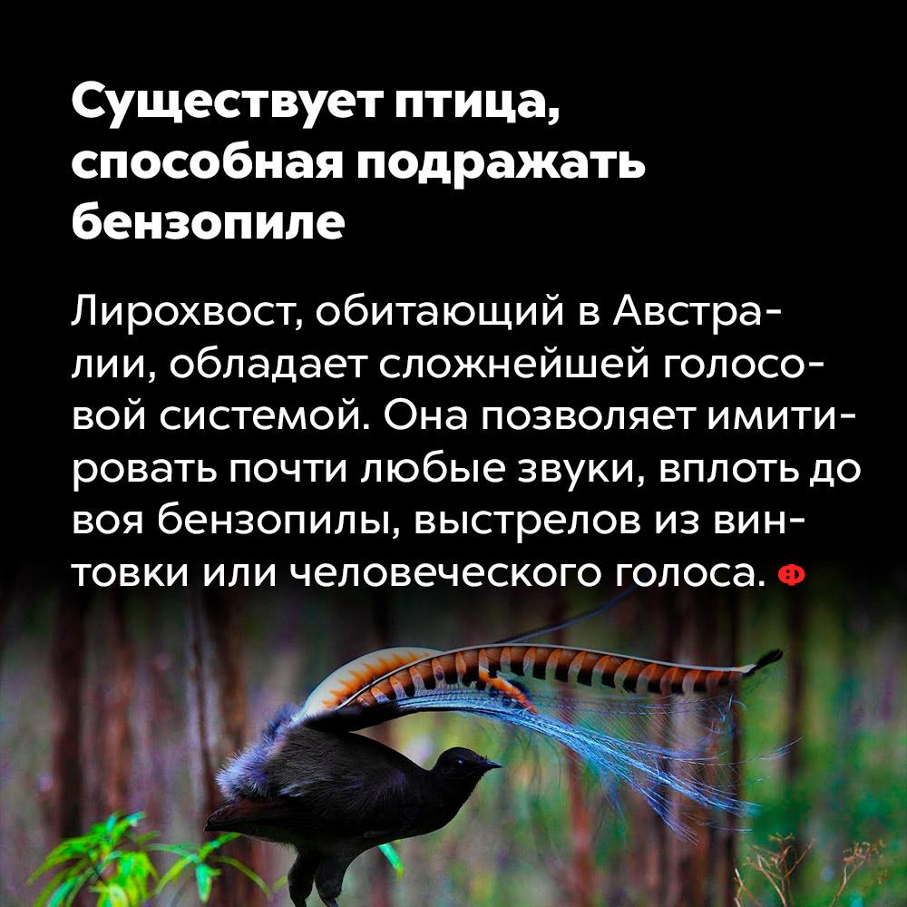 Существует птица, способная подражать бензопиле. Лирохвост, обитающий в Австралии, обладает сложнейшей голосовой системой. Она позволяет имитировать почти любые звуки, вплоть до воя бензопилы, выстрелов из винтовки или человеческого голоса.