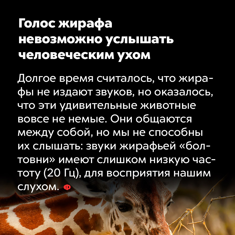 Голос жирафа невозможно услышать человеческим ухом. Долгое время считалось, что жирафы не издают звуков, но оказалось, что эти удивительные животные вовсе не немые. Они общаются между собой, но мы не способны их слышать: звуки жирафьей «болтовни» имеют слишком низкую частоту (20 Гц) для восприятия нашим слухом.