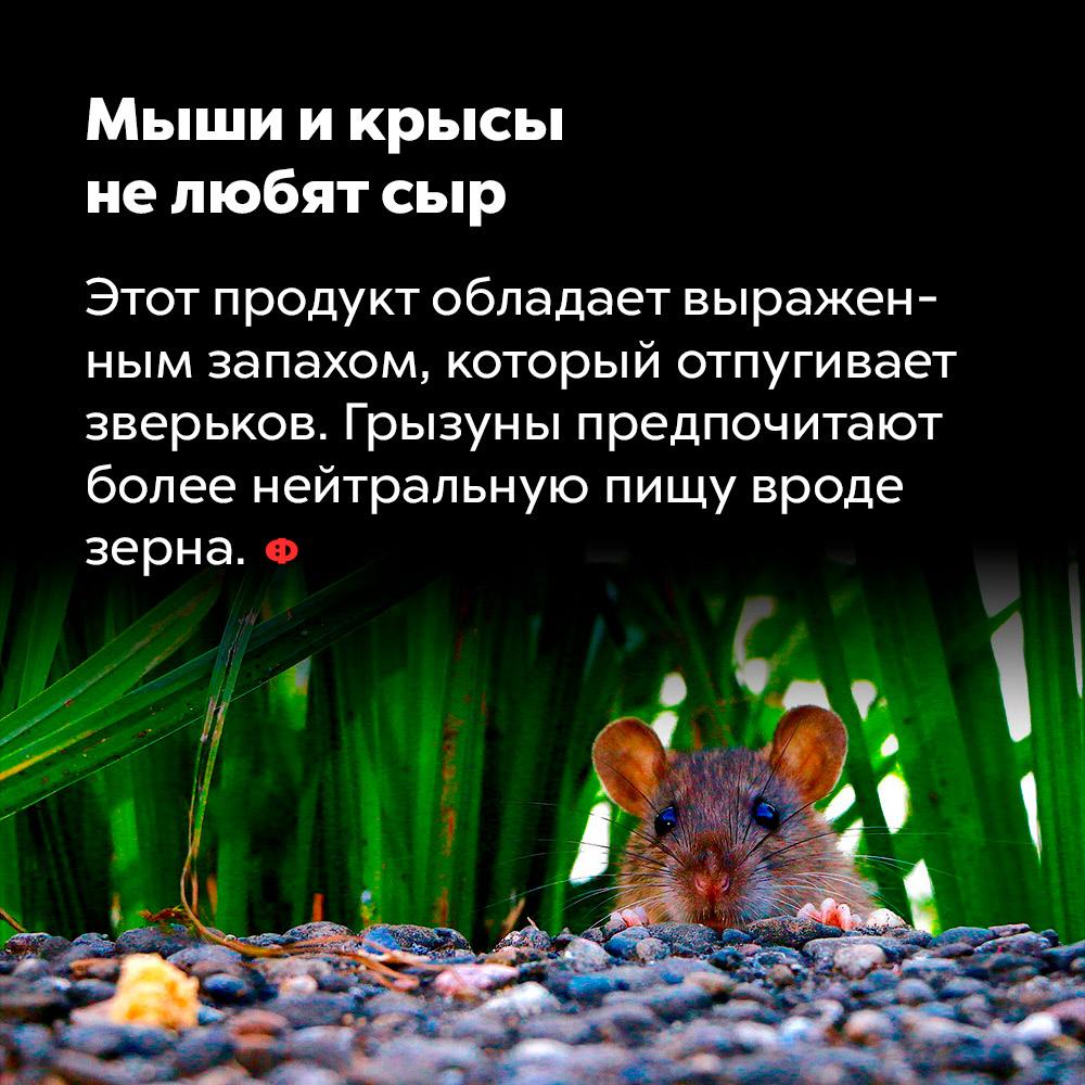 Мыши икрысы нелюбят сыр. Этот продукт обладает выраженным запахом, который отпугивает зверьков. Грызуны предпочитают более нейтральную пищу вроде зерна.