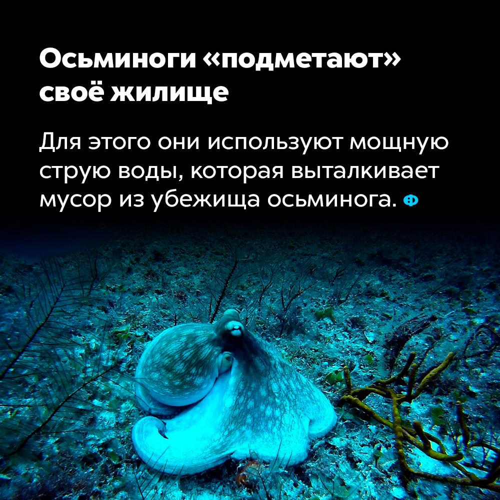 Осьминоги «подметают»  своё жилище. Для этого они используют мощную струю воды, которая выталкивает мусор из убежища осьминога.