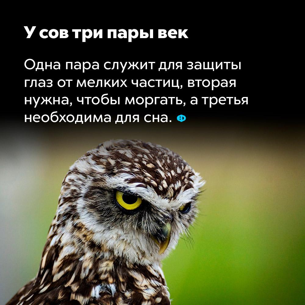 У сов три пары век. Одна пара служит для защиты глаз от мелких частиц, вторая нужна, чтобы моргать, а третья необходима для сна.