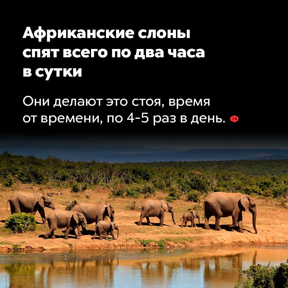 Африканские слоны спят всего подва часа всутки. Они делают это стоя, время от времени, по 4-5 раз за день.
