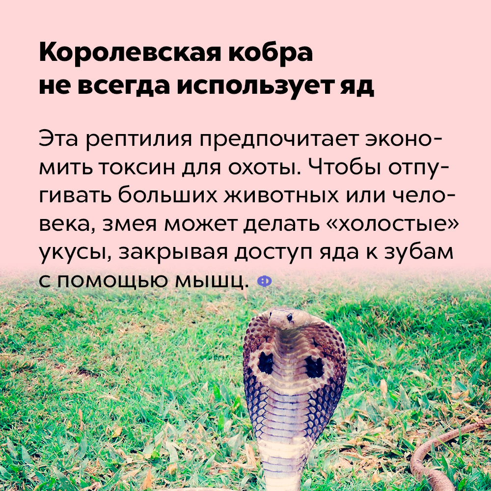 Королевская кобра не всегда использует яд.