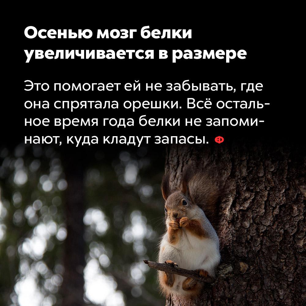 Осенью мозг белки увеличивается вразмере. Это помогает ей не забывать, где она спрятала орешки. Всё остальное время года белки не запоминают, куда кладут запасы.