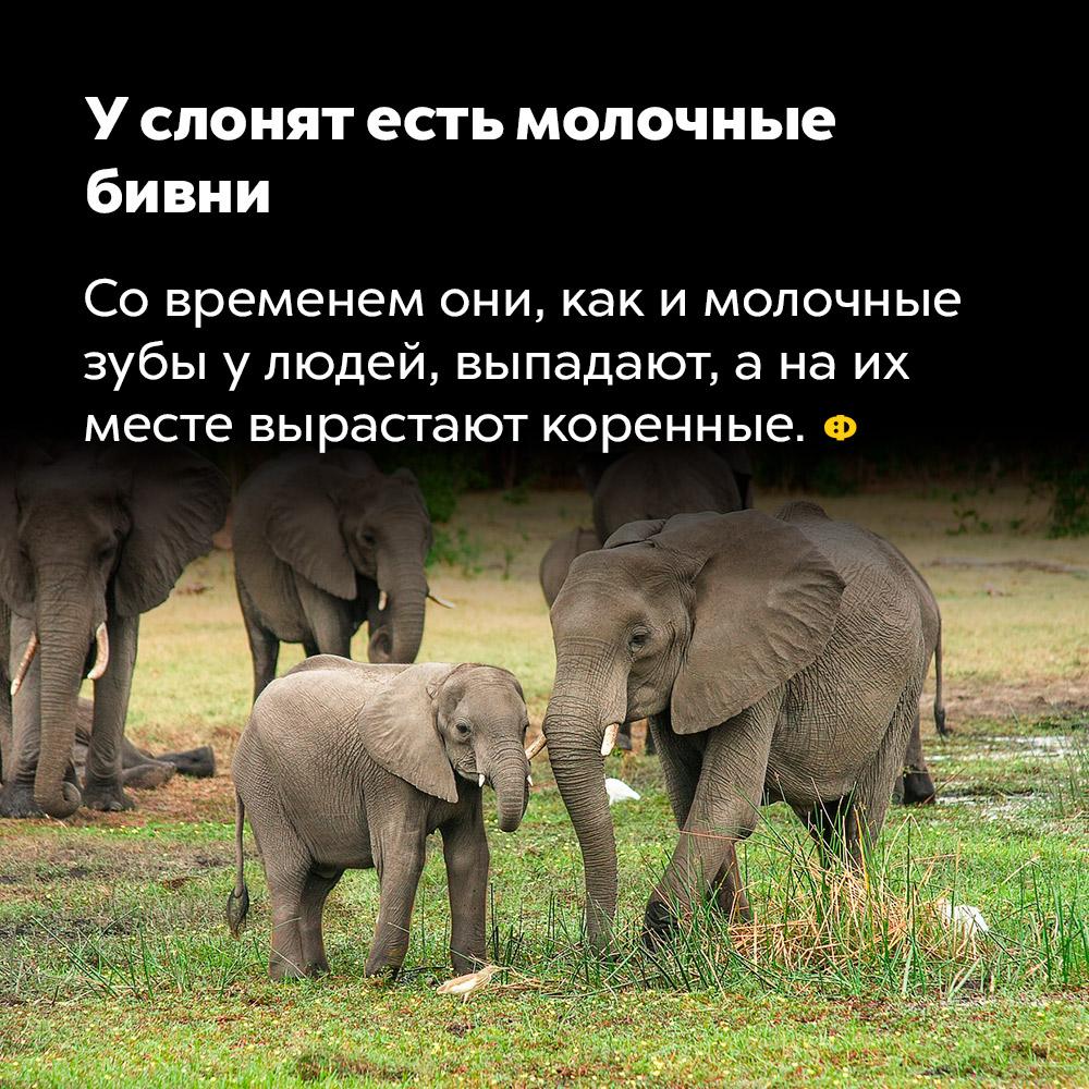 У слонят есть молочные бивни. Со временем они, как и молочные зубы у детей, выпадают, а на их месте вырастают коренные.