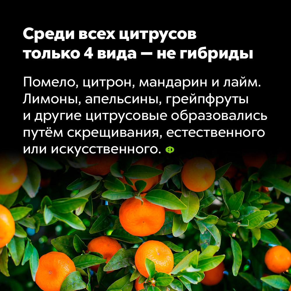 Среди всех цитрусов только 4вида— негибриды. Помело, цитрон, мандарин и лайм. Лимоны, апельсины, грейпфруты и другие цитрусовые образовались путём скрещивания, естественного или искусственного.