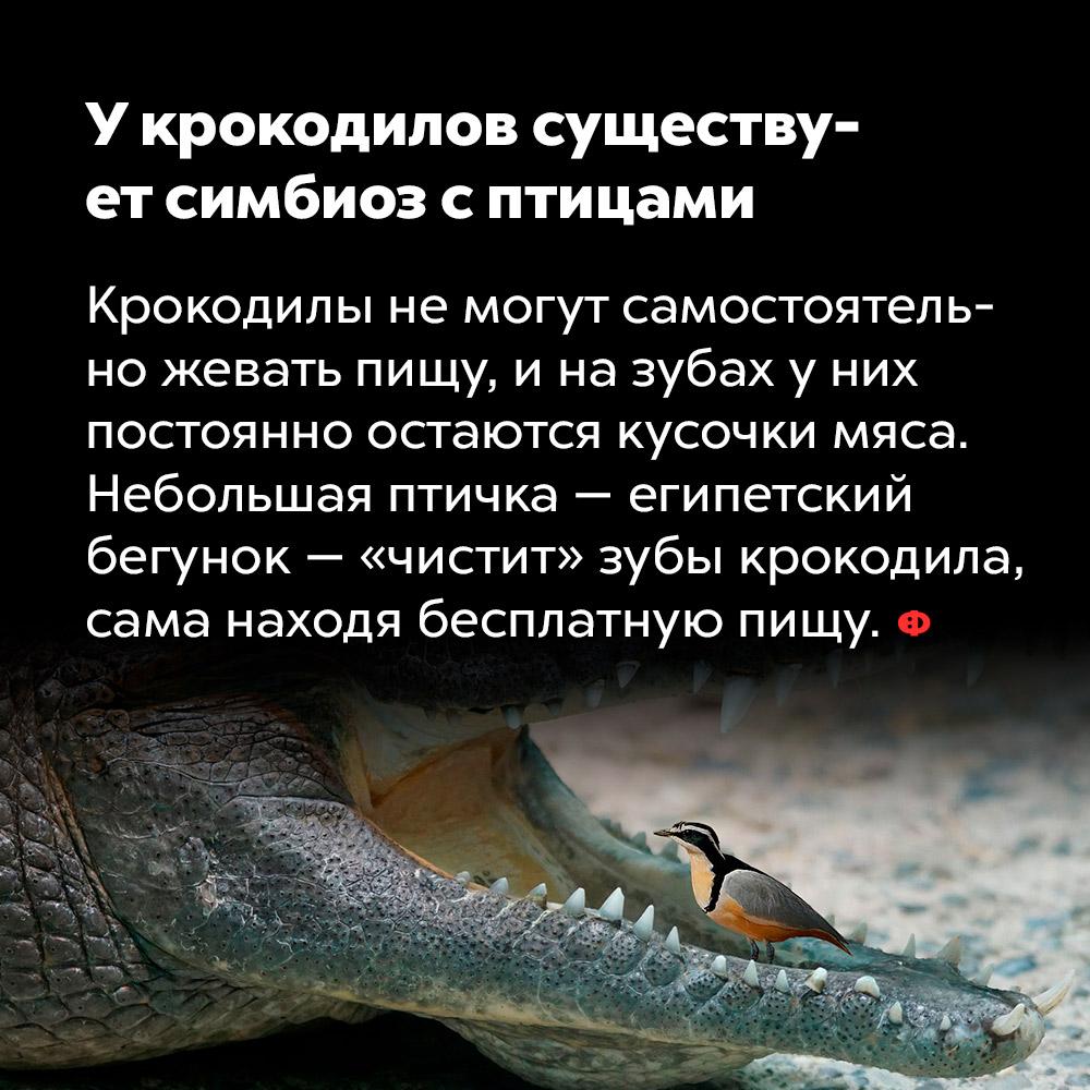 Укрокодилов существует симбиоз сптицами.