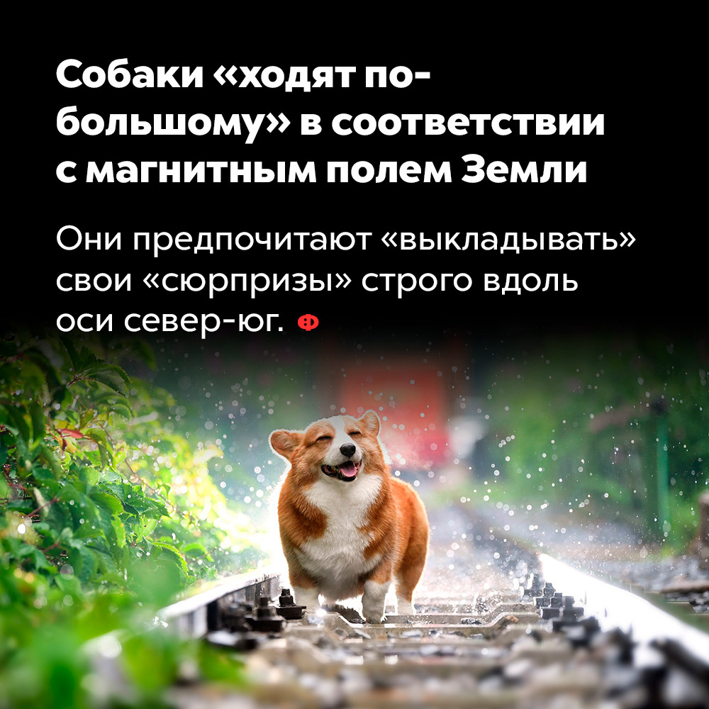 Собаки «ходят по-большому» всоответствии смагнитным полем Земли. Они предпочитают «выкладывать» свои «сюрпризы» строго вдоль оси север-юг.