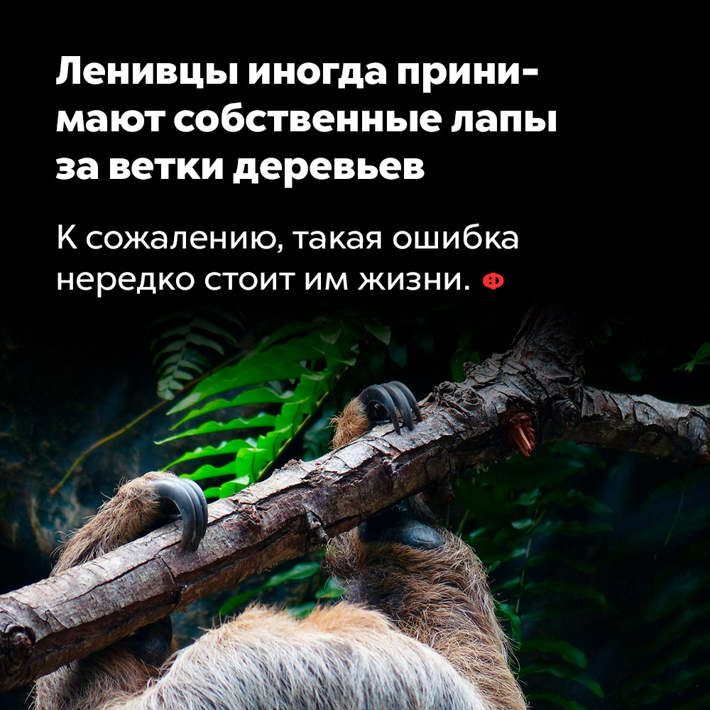 Ленивцы иногда принимают собственные лапы заветки деревьев. К сожалению, такая ошибка нередко стоит им жизни.