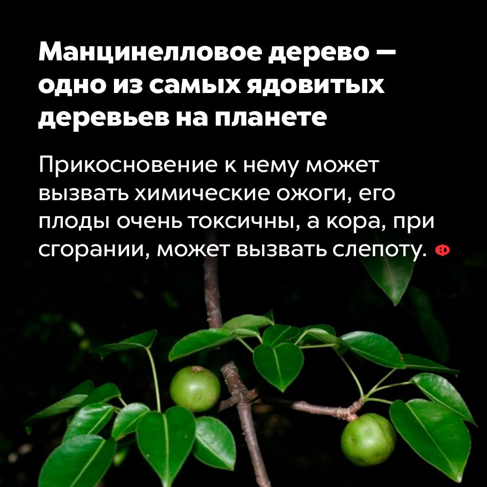 Манцинелловое дерево — одно изсамых ядовитых деревьев напланете. Прикосновение к нему может вызвать химические ожоги, его плоды очень токсичны, а кора, при сгорании, может вызвать слепоту.