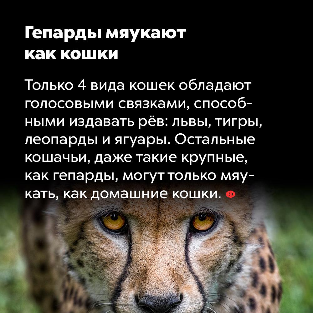 Гепарды мяукают как кошки. Только 4 вида кошек обладают голосовыми связками, способными издавать рёв: львы, тигры, леопарды и ягуары. Остальные кошачьи, даже такие крупные, как гепарды, могут только мяукать, как домашние кошки.