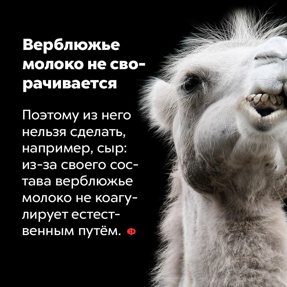 Верблюжье молоко несворачивается. Поэтому из него нельзя сделать, например, сыр: из-за своего состава верблюжье молоко не коагулирует естественным путём.