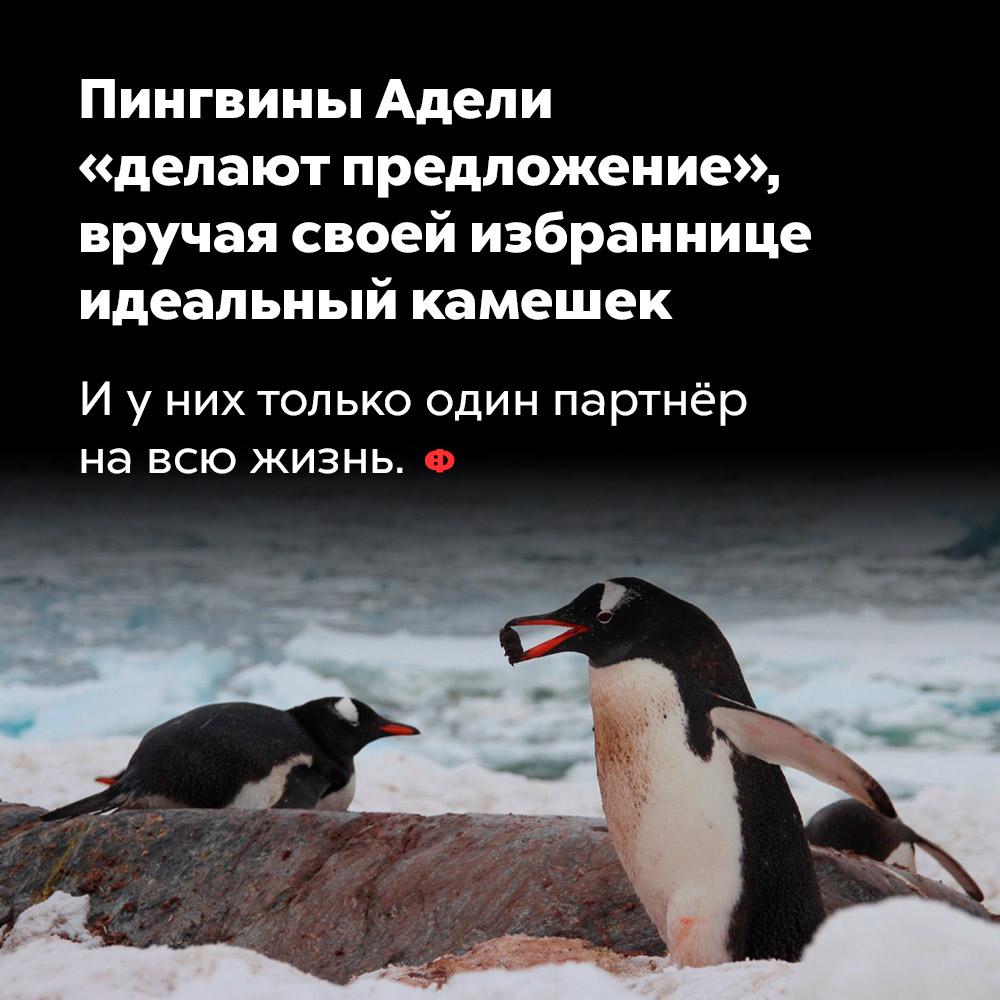 Пингвины Адели «делают предложение», вручая своей избраннице идеальный камешек. И у них только один партнёр на всю жизнь.