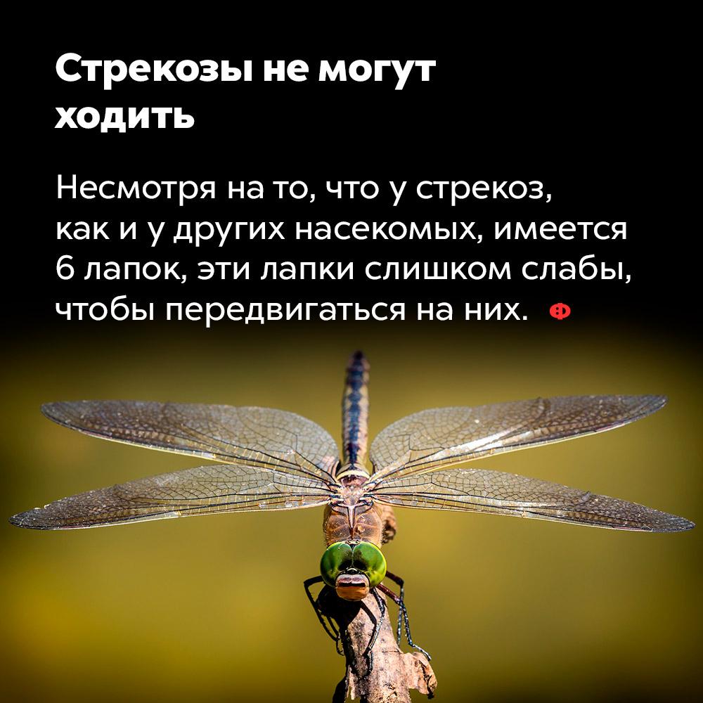 Стрекозы немогут ходить. Несмотря на то, что у стрекоз, как и у других насекомых, имеется шесть лапок, эти лапки слишком слабы, чтобы передвигаться на них.