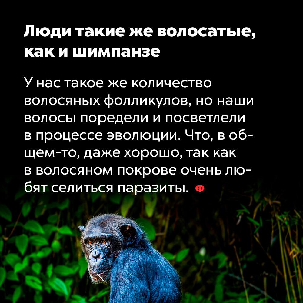 Люди такие жеволосатые, как ишимпанзе. У нас такое же количество волосяных фолликулов, но наши волосы поредели и посветлели в процессе эволюции. Что, в общем-то, даже хорошо, так как в волосяном покрове очень любят селиться паразиты.