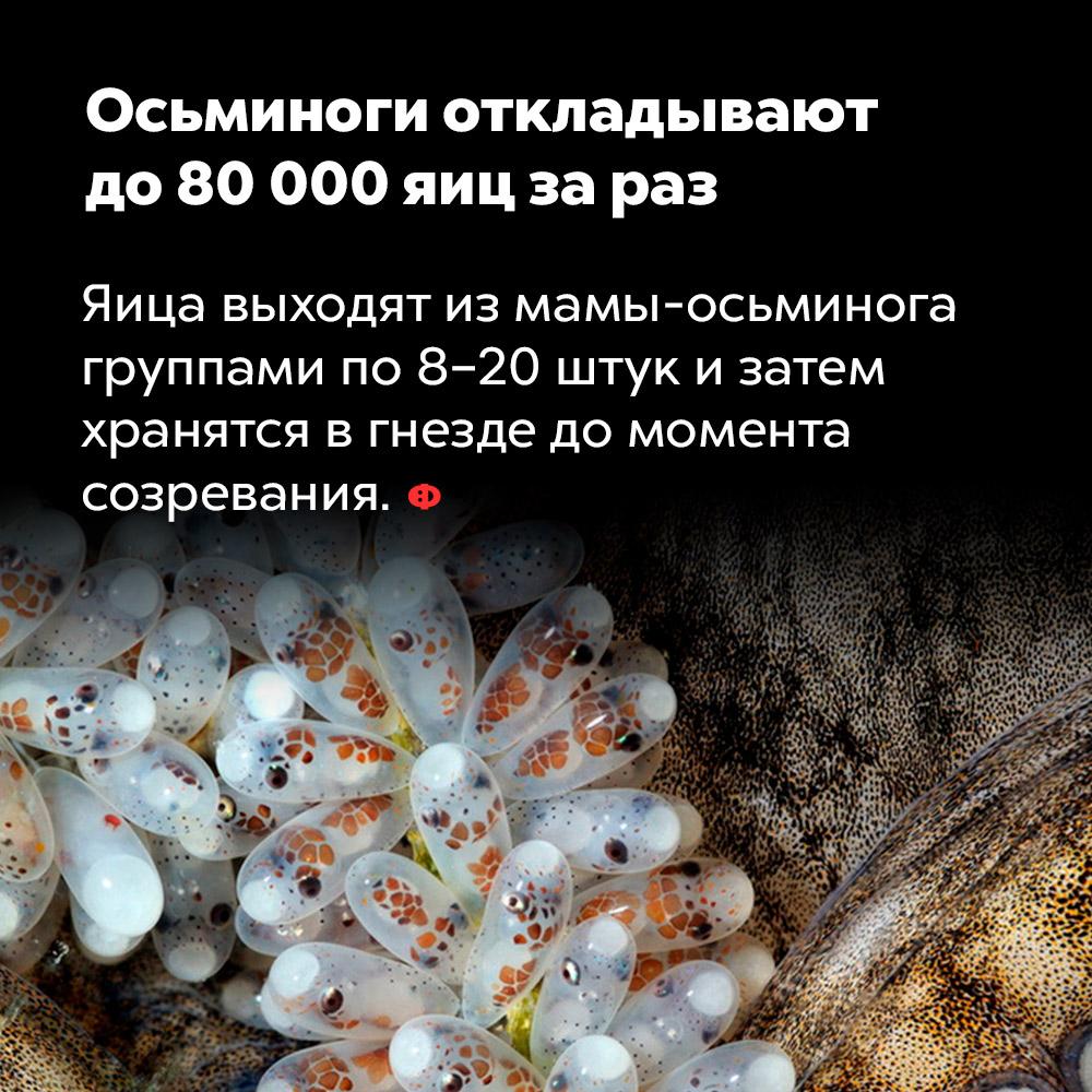 Осьминоги откладывают до80000 яиц зараз. Яйца выходят из мама-осьминога группами по 8-20 штук и затем хранятся в гнезде до момента созревания.