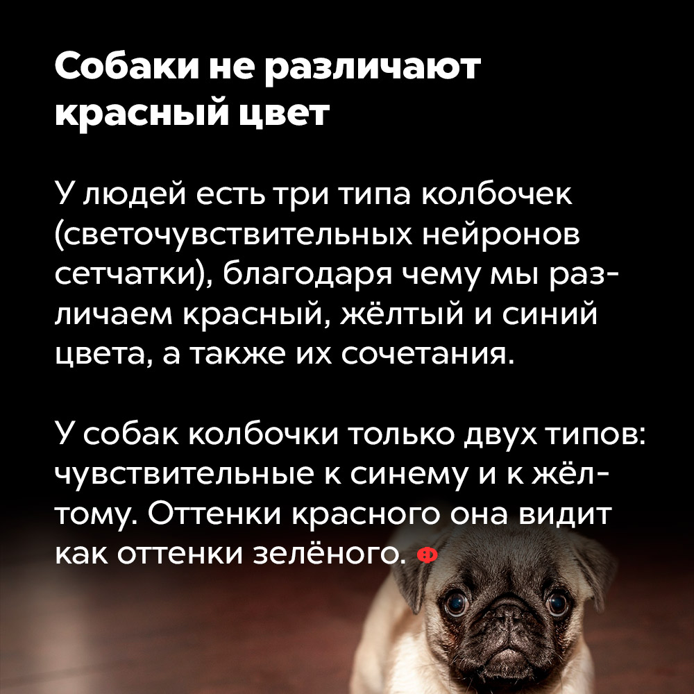 Собаки неразличают красный цвет. У людей есть три типа колбочек (светочувствительных нейронов сетчатки), благодаря чему мы различаем красный, жёлтый и синий цвета, а также их сочетания. У собак колбочки только двух типов: чувствительные к синему и к жёлтому. Оттенки красного собака видит как оттенки зелёного.