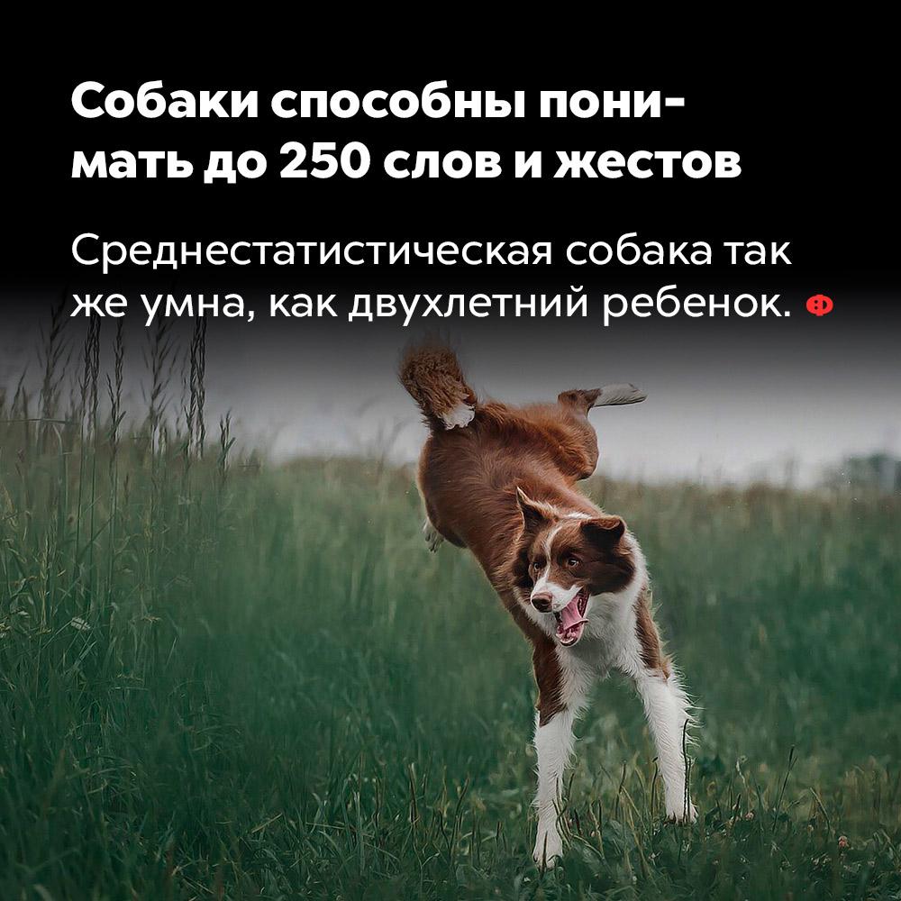 Собаки способны понимать до250слов ижестов. Среднестатистическая собака так же умны, как двухлетний ребёнок.