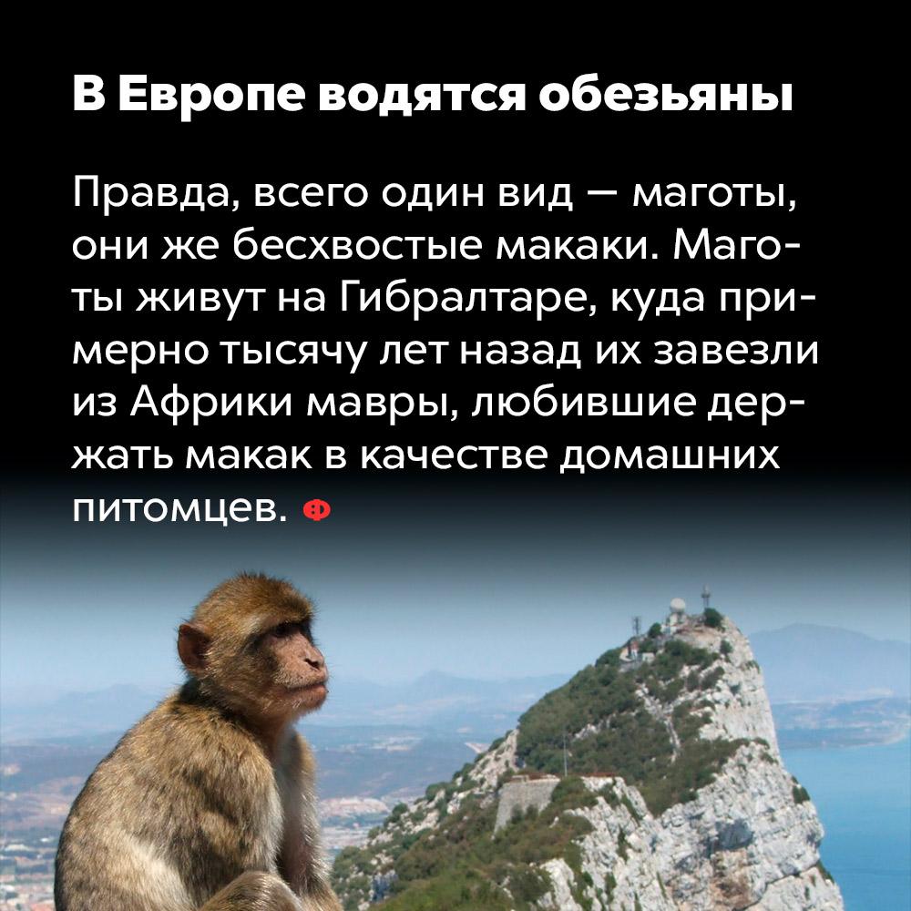 ВЕвропе водятся обезьяны. Правда, всего один вид — маготы, они же бесхвостые макаки. Маготы живут на Гибралтаре, куда примерно тысячу лет назад их завезли из Африки мавры, любившие делать макак в качестве домашних питомцев.