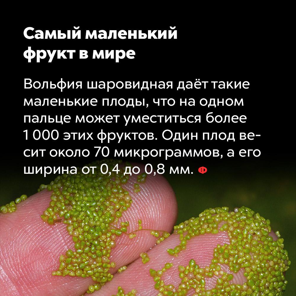 Самый маленький фрукт вмире. Вольфия шаровидная даёт такие маленькие плоды, что на одном пальце может уместиться более тысячи этих фруктов. Один плод весит около 70 микрограммов, а его ширина — от 0,4 до 0,8 мм.