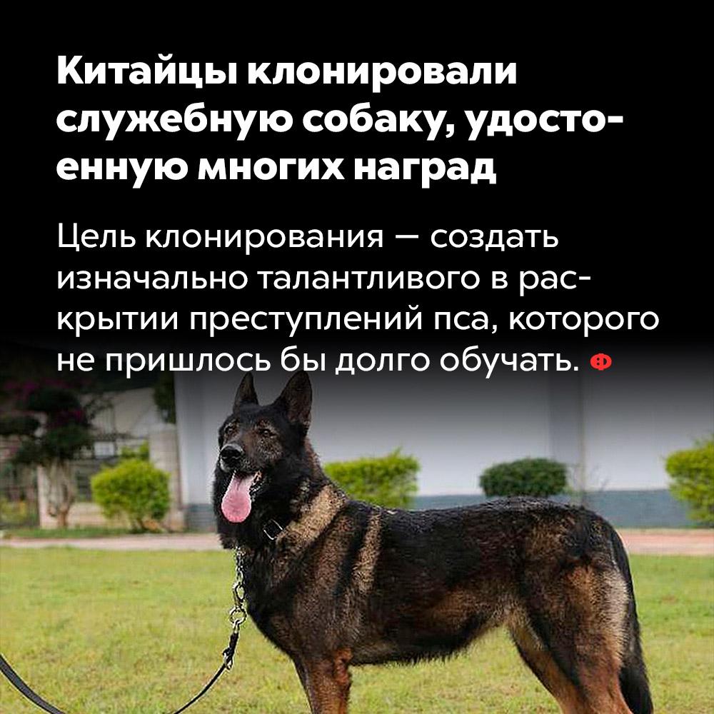Китайцы клонировали служебную собаку, удостоенную многих наград.