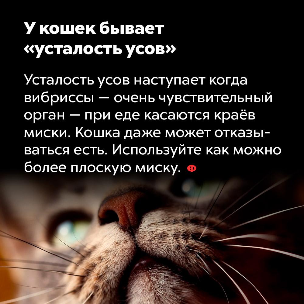 Укошек бывает «усталость усов». Усталость усов наступает когда вибриссы — очень чувствительный орган — при еде касаются краёв миски. Кошка даже может отказываться есть. Используйте как можно более плоскую миску.