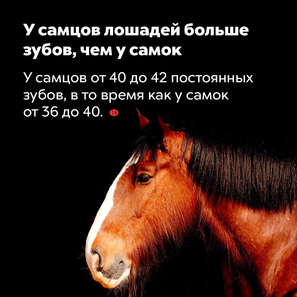 Усамцов лошадей больше зубов, чем усамок. У самцов от 40 до 42 постоянных зубов, в то время как у самок от 36 до 40.