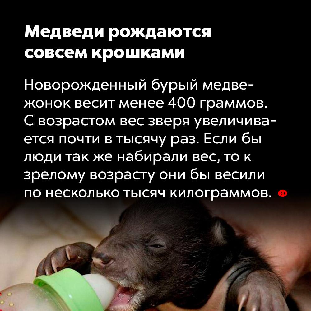 Медведи рождаются совсем крошками.