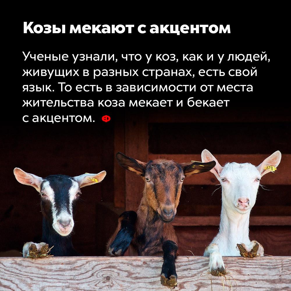 Козы «мекают» сакцентом. Учёные узнали, что у коз, как и у людей, живущих в разных странах, есть свой язык. То есть в зависимости от места жительства козы «мекают» и «бекают» с акцентом.