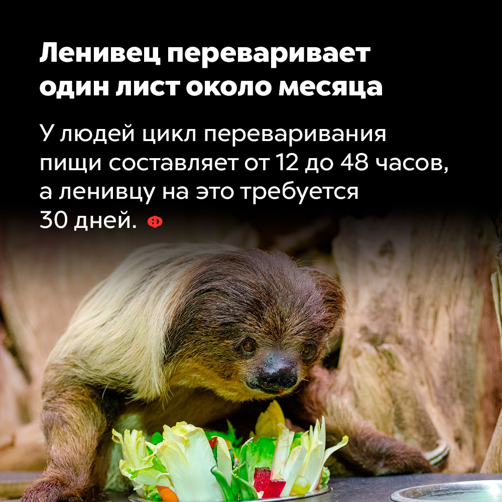 Ленивец переваривает один лист около месяца. У людей цикл переваривания пищи составляет от 12 до 48 часов, а ленивцам на это требуется 30 дней.