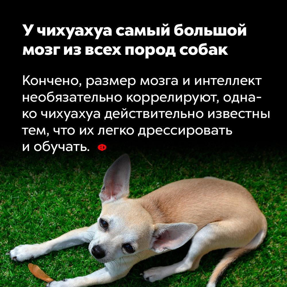 Учихуахуа самый большой мозг извсех пород собак. Конечно, размер мозга и интеллект необязательно коррелируют, однако чихуахуа действительно известны тем, что их легко дрессировать и обучать.