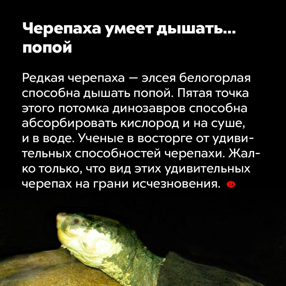 Черепаха умеет дышать… попой. Редкая черепаха, элсея белогорлая, способна дышать попой. Пятая точка этого потомка динозавров способна абсорбировать кислород и на суше, и в воде. Учёные в восторге от удивительных способностей черепахи. Жалко только, что вид этих удивительных черепах на грани исчезновения.