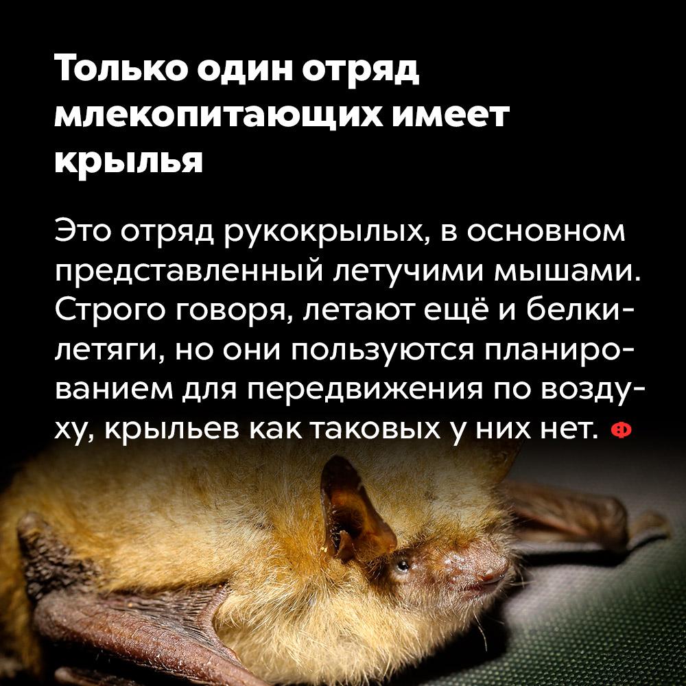 Только один отряд млекопитающих имеет крылья. Это отряд рукокрылых, в основном представленный летучими мышами. Строго говоря, летают еще и белки-летяги, но они пользуются планированием для передвижения по воздуху, крыльев как таковых у них нет.